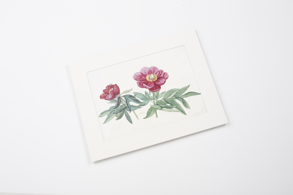 Miniprint in Passepartout: Hoffmann, Pfingstrosen