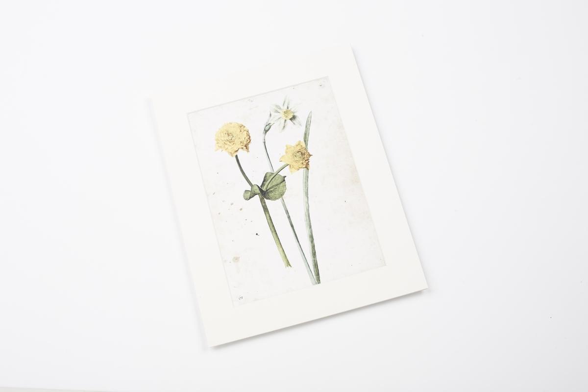 Miniprint in Passepartout: Flegel, Sumpfdotterblume