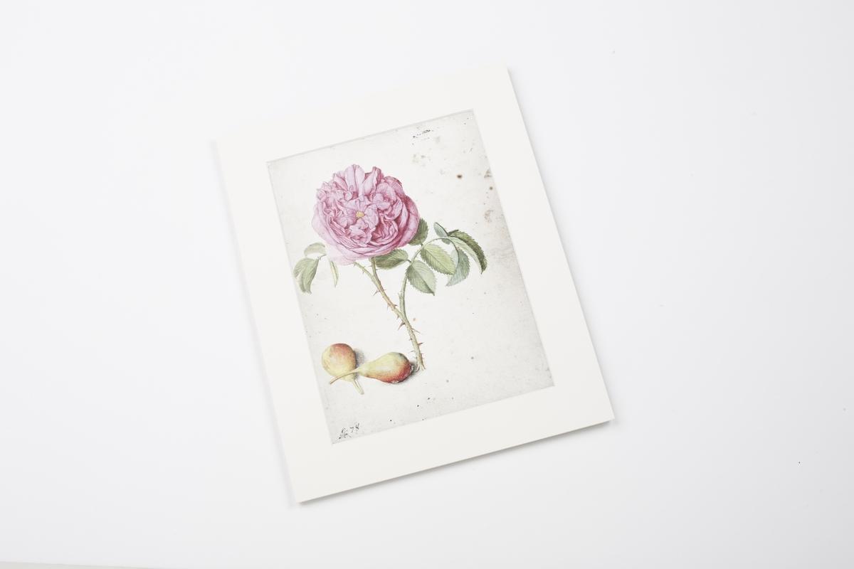 Miniprint in Passepartout: Flegel, Batavische Rose
