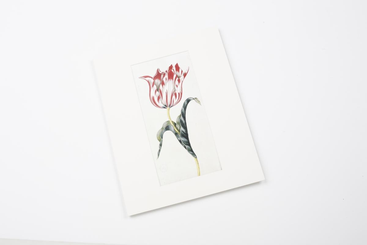 Miniprint in Passepartout: Braun, Tulpe