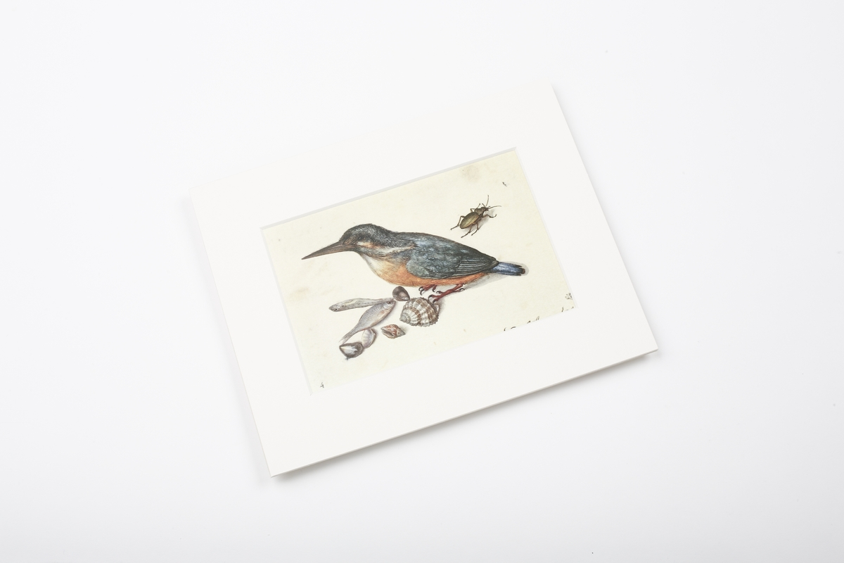 Miniprint in Passepartout: Flegel, Stilleben mit Eisvogel