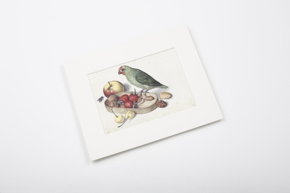 Miniprint in Passepartout: Flegel, Stilleben mit Zwergpapagei